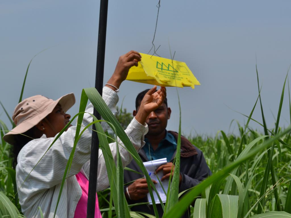 Investigation of Management of Sugarcane Moth Borers Using Synthetic Sex Pheromones