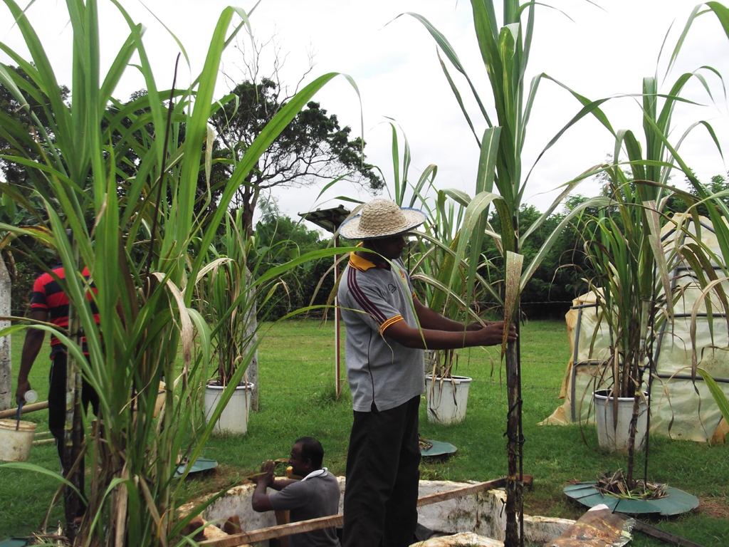 Assessment of soil water balance and water productivity in rain-fed sugarcane in Sri Lanka