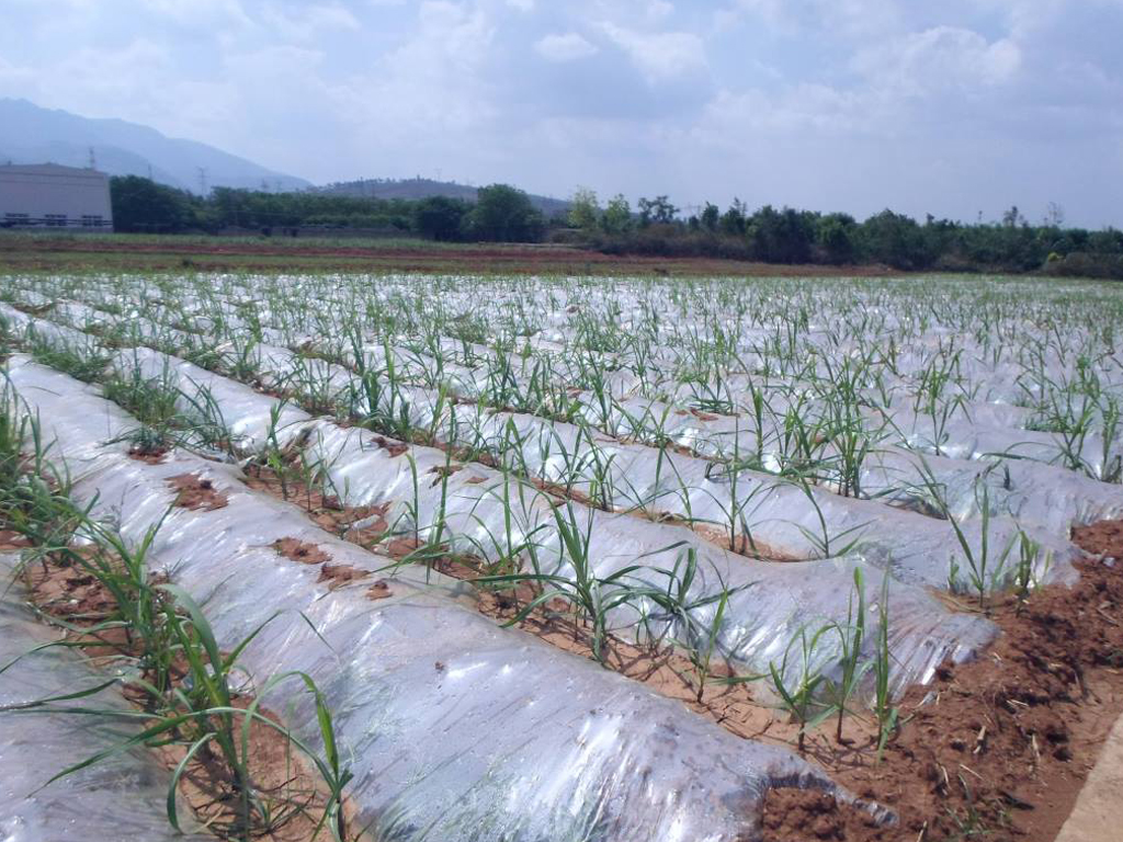 Investigation of the effect of polythene mulching for weed controlling in sugarcane